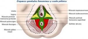 anatomia3 300x134 - INCONTIGENCIAS URINARIAS EN MUJERES DEPORTISTAS.