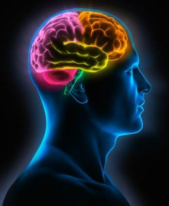 cerebro humano 246x300 - cerebro-humano